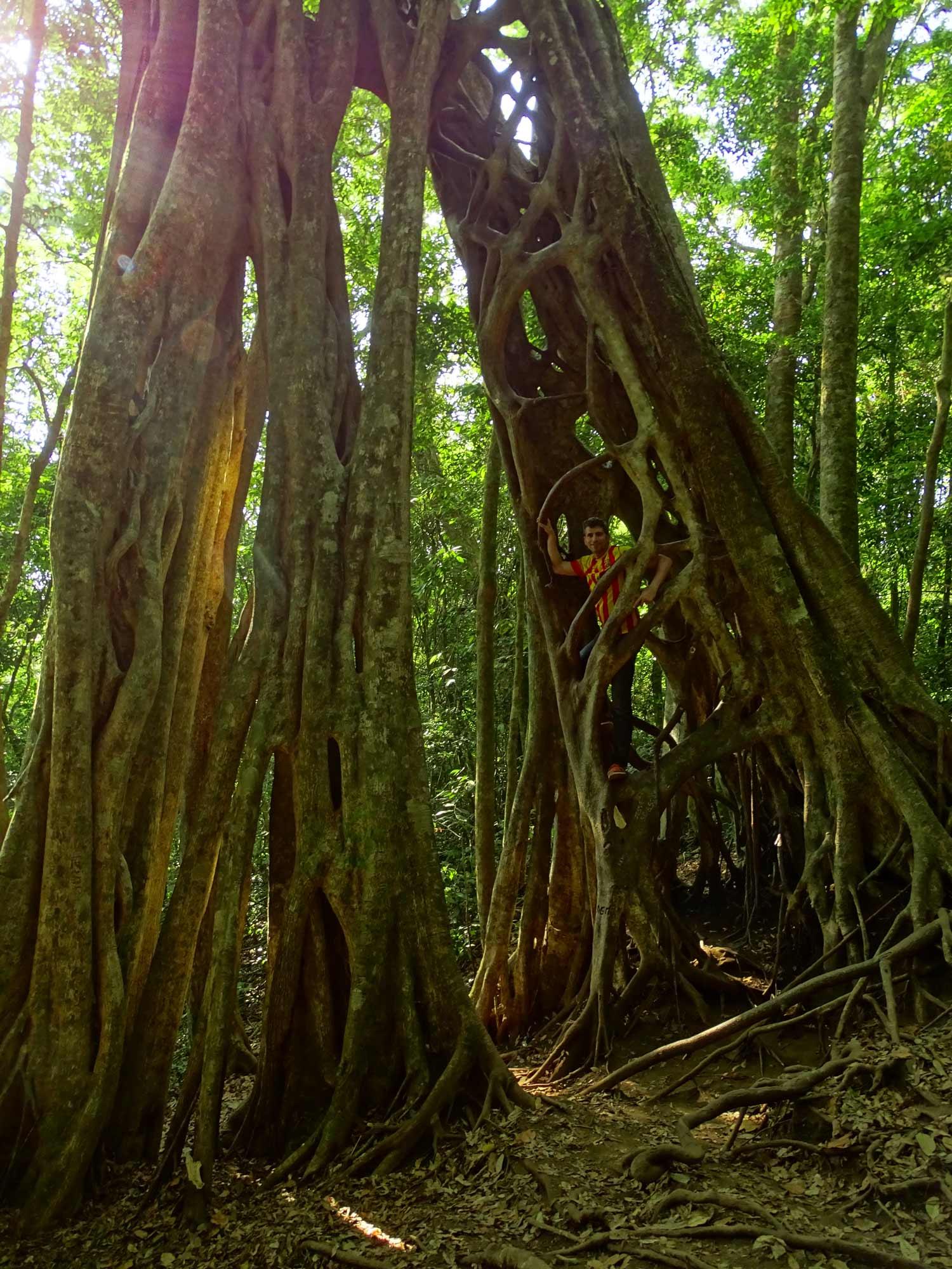 Árbol_hueco_Monteverde