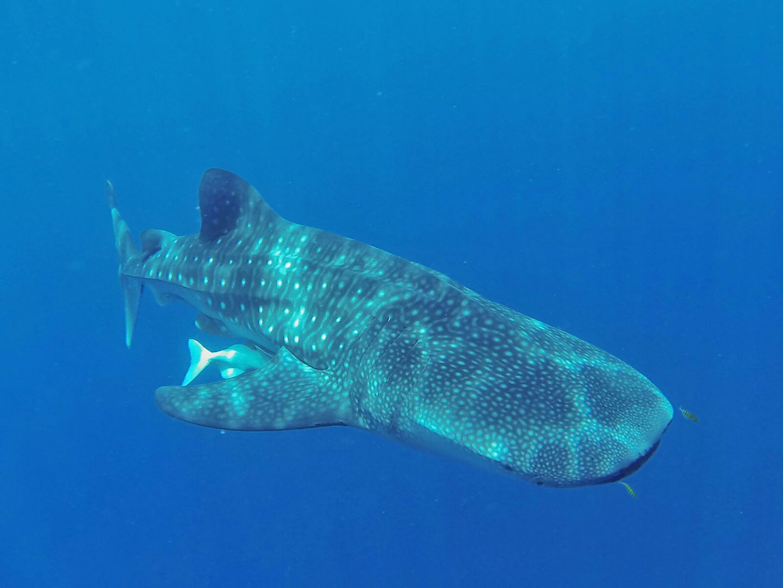 Tiburon-ballena-Puerto-Princesa-2